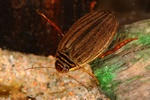 Acilius canaliculatus